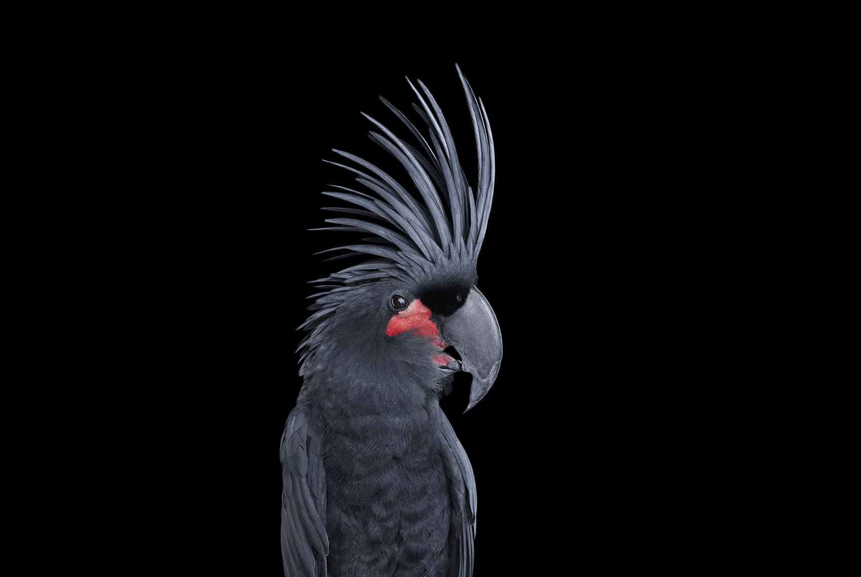 BlackPalmCockatoo1